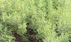 Eberraute